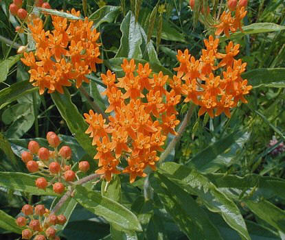 The Erect Cers Of Bright Orange Flowers Occur At Terminal Point Stems Toward Top Plant And Are About 2 4 Across